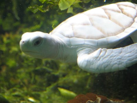 White Turtle by afira