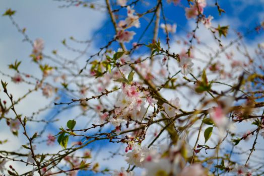 Spring time Blossoms by EllieWeird