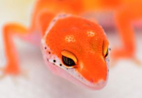 Red Enigma Leopard Gecko by basticelis