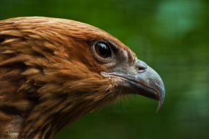 Whistling Kite by daniellepowell82