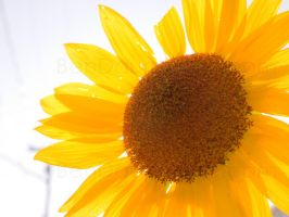 Sunflower a.k.a. Brightness by darwin2kx