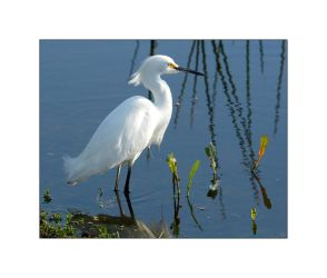 Snowy Egret Early Morning by OpticaLLightspeed