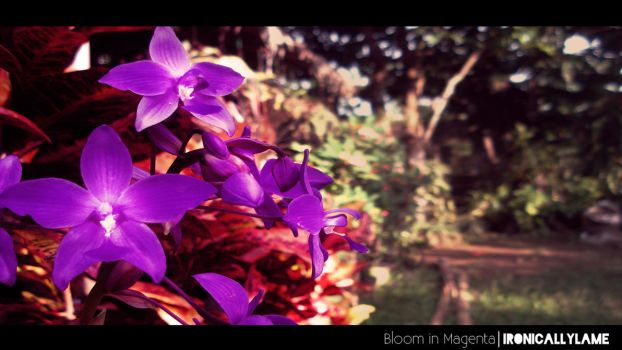 Bloom in Magenta by theROJMEISTER