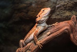 Bearded Dragon 2 by Very-Free-Stock