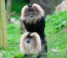 Lion-tailed Macaques by paldorslate