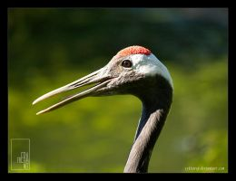 Red-crowned Crane by Zyklotrop