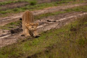 African Lion 102 by catman-suha