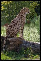Cheetah 02-98 by Prince-Photography