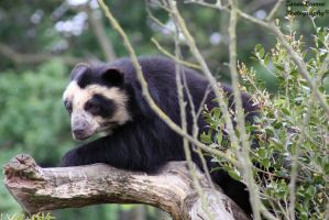 Spectacled Bear by ZaraaLeanne