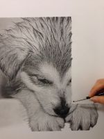 In Progress Husky Pup Realistic Pencil drawing by SamanthaMessias
