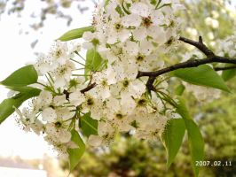 My Bradford Pear Blooms by EmeraldTokyo