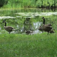 Goose Family by A-Fox-Of-Fiction