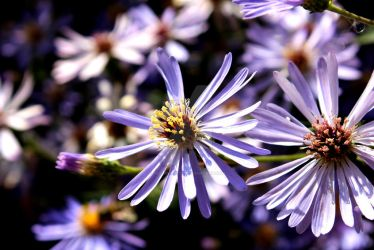 Purple Blossom by YesimMisey123
