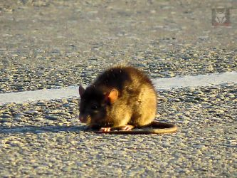 Unwell Mouse On Road by wolfwings1