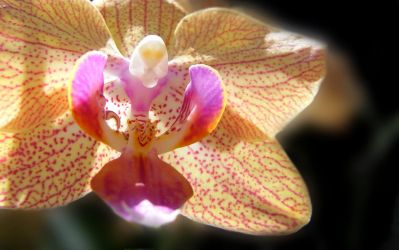 orchid by luk54321