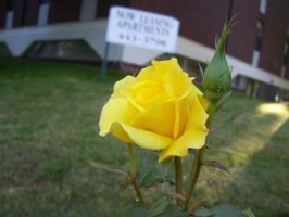 Yellow Rose by dnbarman