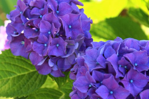 The Hydrangeas Next Door by Sagittarianism