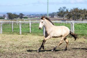 HH Iberian foal canter side front view by Chunga-Stock
