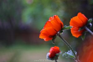 Poppies by dandelgrosso