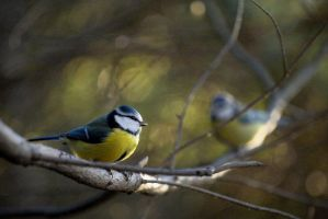 Blue Tit - Parus caeruleus by sampok