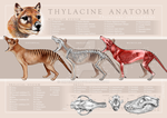 Thylacine Anatomy Poster by oxpecker