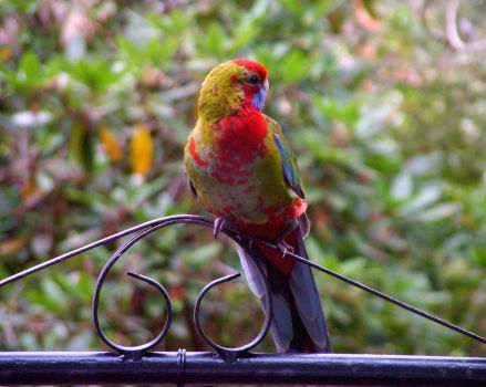 Young Rosella by redmatilda