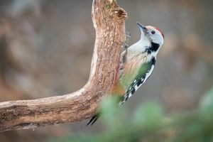 Middle Spotted Woodpecker by DominikaAniola