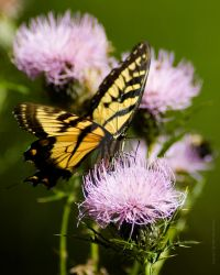 Swallowtail Butterfly on Thistle Photo by dworld