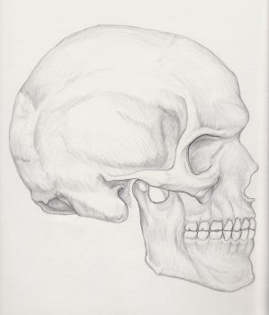 Skull in Profile by Sauvageau