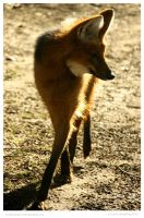 Maned Wolf by In-the-picture