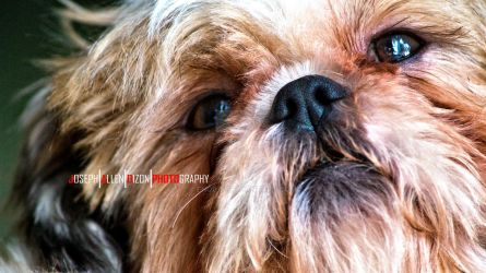Shih Tzu Dog - Close up - Beg by enob-x