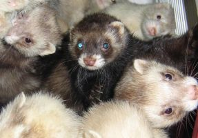 Ferrets by juliozzy