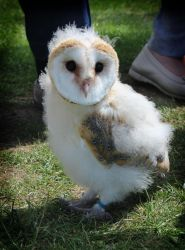 Baby Barn Owl 02 by EscaBowmer