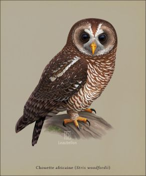 African Wood Owl by Leaubellon