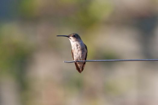 Hummingbird on a wire by AmirNasher