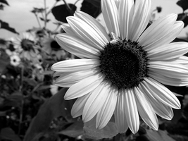the sunflower. by SPORADICstatic