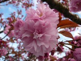 Pink Flower Tree Blossom Stock by Enchantedgal-Stock