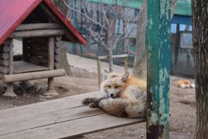 Fox Village Shiroishi Miyagi (14) by vagabond-mm