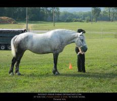Percheron Stock 01 by Rising-High-Ranch