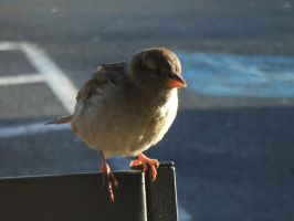 Sparrow in the Morning - Front by JennHolton