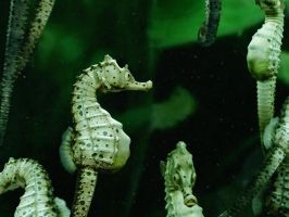 Big velly Sea horse by Kimsuyeong81