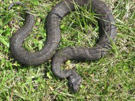 Northern Water Snake by shadowfire-x