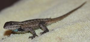 Eastern Fence Lizard? Stock by Lovely-DreamCatcher