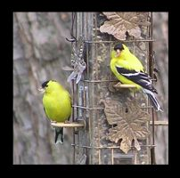 American Goldfinches 1 by m3ru