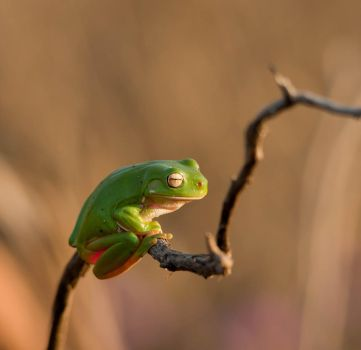 Another Green Tree Frog by Chezza932