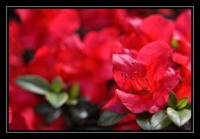 Rhododendron by Afriel303