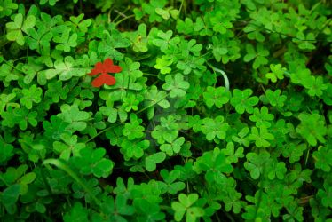 Red Leaf Clover by AlexandreBoavida