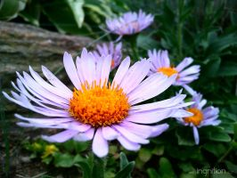 Spring Flower 2012 - 66 by Ingnition