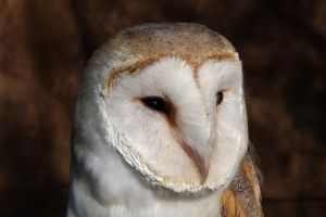Barn Owl Portrait by cycoze