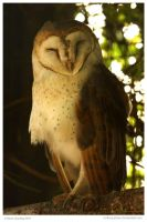 African Barn Owl by In-the-picture